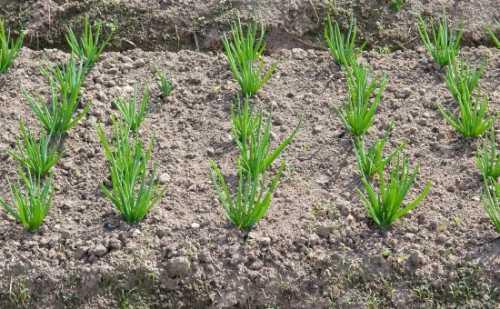 Лук на зелень: посадка, выращивание, технология,