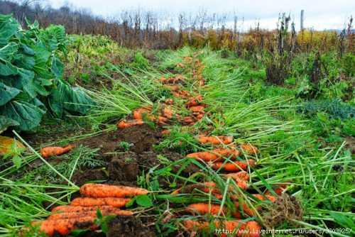 Секреты хорошей моркови