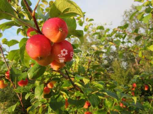 Плодоношение стабильное из года в год, несмотря на суровый климат