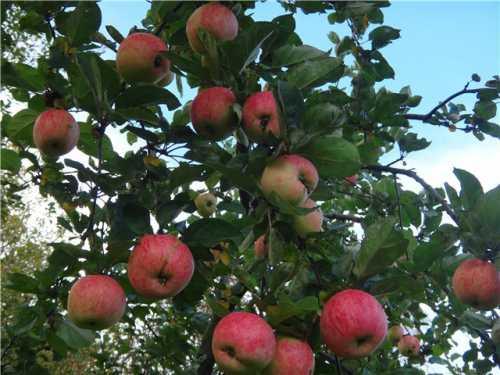 Особенности сортов яблонь для Урала: фото,