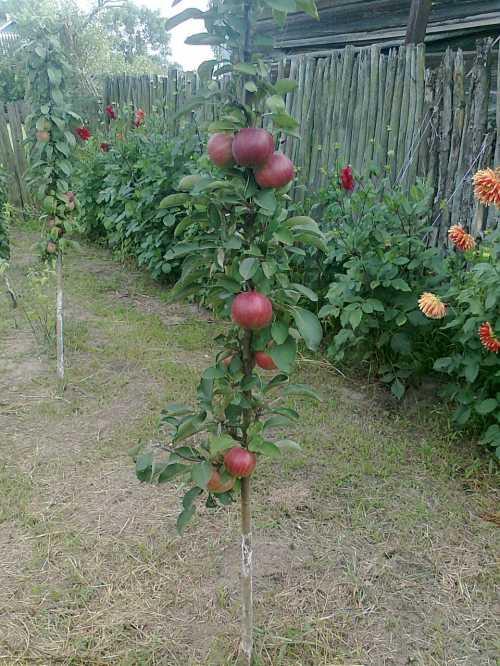 Дерево с осенним сроком плодоношения, фрукты хранятся до зимы, не портятсяЯблоня компактная, может вырастать от до м