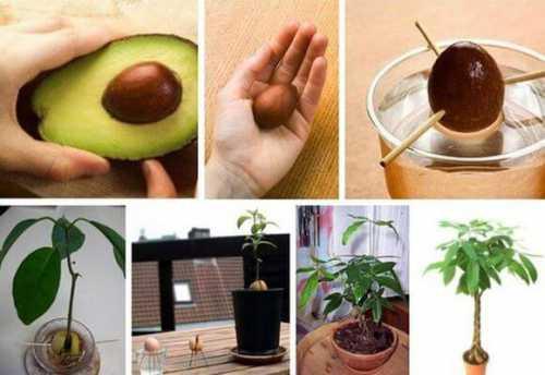 Авокадо из косточки в домашних условиях, как посадить и вырастить
