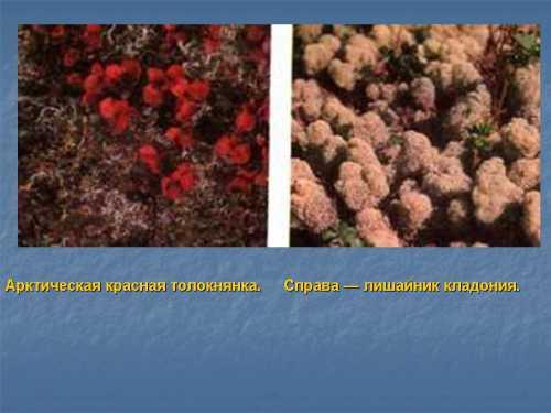 Известные лекарственные растения тундры