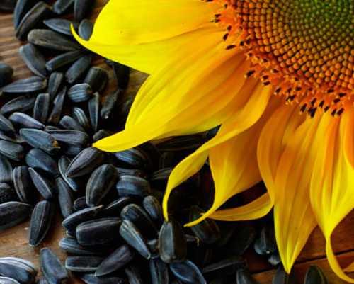 Польза и вред от семян подсолнуха для здоровья