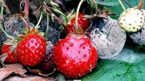 Как вырастить клубнику, выбираем посадочный